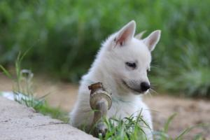 White-Swiss-Shepherd-Puppies-BTWWL-May-2019-0017