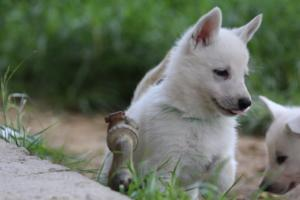 White-Swiss-Shepherd-Puppies-BTWWL-May-2019-0018