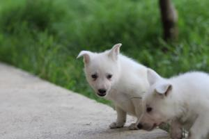 White-Swiss-Shepherd-Puppies-BTWWL-May-2019-0019