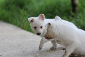 White-Swiss-Shepherd-Puppies-BTWWL-May-2019-0020