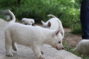 White-Swiss-Shepherd-Puppies-BTWWL-May-2019-0021