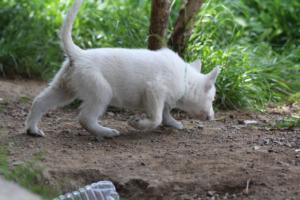 White-Swiss-Shepherd-Puppies-BTWWL-May-2019-0022