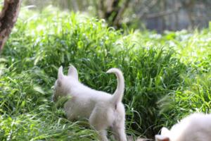 White-Swiss-Shepherd-Puppies-BTWWL-May-2019-0023