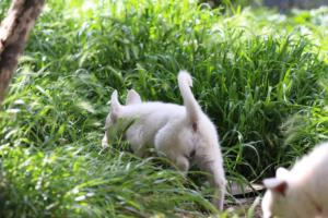 White-Swiss-Shepherd-Puppies-BTWWL-May-2019-0024