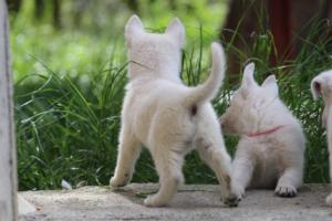 White-Swiss-Shepherd-Puppies-BTWWL-May-2019-0025