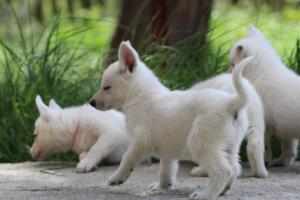 White-Swiss-Shepherd-Puppies-BTWWL-May-2019-0026