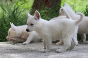 White-Swiss-Shepherd-Puppies-BTWWL-May-2019-0027