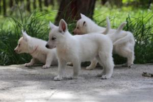 White-Swiss-Shepherd-Puppies-BTWWL-May-2019-0028