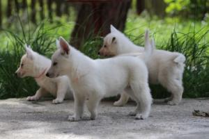 White-Swiss-Shepherd-Puppies-BTWWL-May-2019-0029