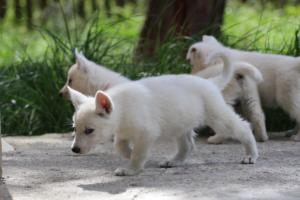 White-Swiss-Shepherd-Puppies-BTWWL-May-2019-0030