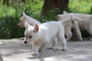 White-Swiss-Shepherd-Puppies-BTWWL-May-2019-0031