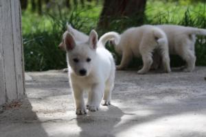 White-Swiss-Shepherd-Puppies-BTWWL-May-2019-0032