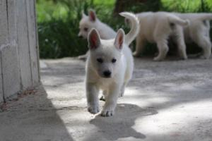 White-Swiss-Shepherd-Puppies-BTWWL-May-2019-0033