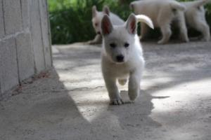 White-Swiss-Shepherd-Puppies-BTWWL-May-2019-0034