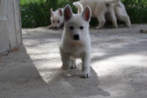 White-Swiss-Shepherd-Puppies-BTWWL-May-2019-0035