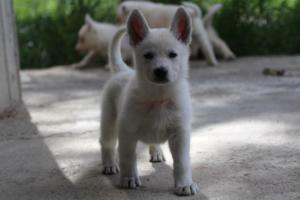 White-Swiss-Shepherd-Puppies-BTWWL-May-2019-0036
