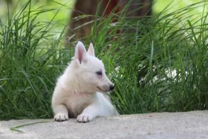 White-Swiss-Shepherd-Puppies-BTWWL-May-2019-0038