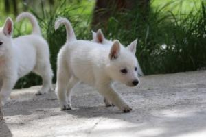 White-Swiss-Shepherd-Puppies-BTWWL-May-2019-0039