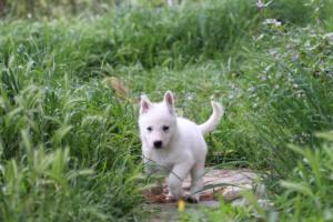 White-Swiss-Shepherd-Puppies-BTWWL-May-2019-0040