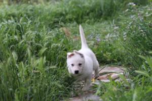 White-Swiss-Shepherd-Puppies-BTWWL-May-2019-0041
