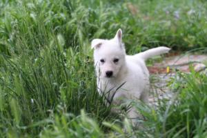 White-Swiss-Shepherd-Puppies-BTWWL-May-2019-0042
