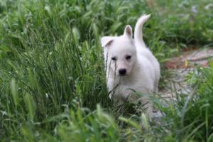 White-Swiss-Shepherd-Puppies-BTWWL-May-2019-0043
