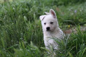 White-Swiss-Shepherd-Puppies-BTWWL-May-2019-0044