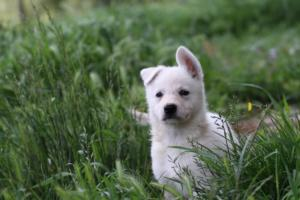 White-Swiss-Shepherd-Puppies-BTWWL-May-2019-0045