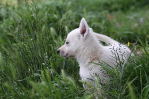 White-Swiss-Shepherd-Puppies-BTWWL-May-2019-0046
