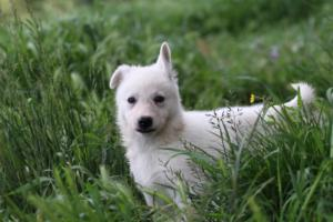 White-Swiss-Shepherd-Puppies-BTWWL-May-2019-0047