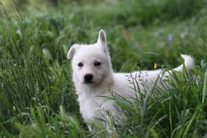 White-Swiss-Shepherd-Puppies-BTWWL-May-2019-0048
