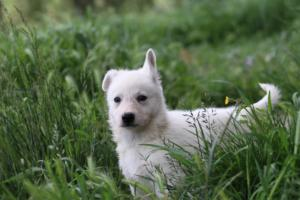 White-Swiss-Shepherd-Puppies-BTWWL-May-2019-0049