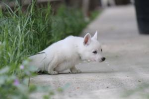 White-Swiss-Shepherd-Puppies-BTWWL-May-2019-0050