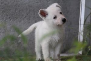 White-Swiss-Shepherd-Puppies-BTWWL-May-2019-0051