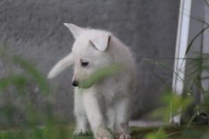 White-Swiss-Shepherd-Puppies-BTWWL-May-2019-0052