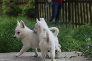 White-Swiss-Shepherd-Puppies-BTWWL-May-2019-0054