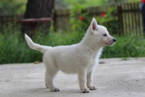 White-Swiss-Shepherd-Puppies-BTWWL-May-2019-0055