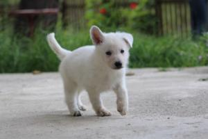 White-Swiss-Shepherd-Puppies-BTWWL-May-2019-0056