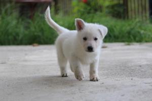 White-Swiss-Shepherd-Puppies-BTWWL-May-2019-0057