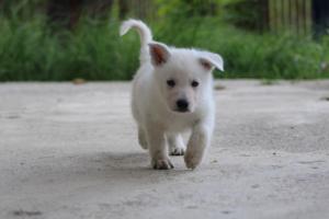 White-Swiss-Shepherd-Puppies-BTWWL-May-2019-0058