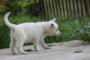 White-Swiss-Shepherd-Puppies-BTWWL-May-2019-0060