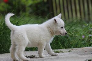 White-Swiss-Shepherd-Puppies-BTWWL-May-2019-0061