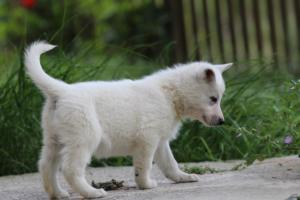 White-Swiss-Shepherd-Puppies-BTWWL-May-2019-0062