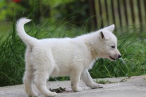 White-Swiss-Shepherd-Puppies-BTWWL-May-2019-0063