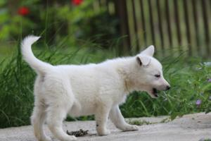 White-Swiss-Shepherd-Puppies-BTWWL-May-2019-0064