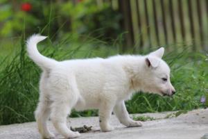 White-Swiss-Shepherd-Puppies-BTWWL-May-2019-0065