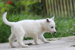 White-Swiss-Shepherd-Puppies-BTWWL-May-2019-0066
