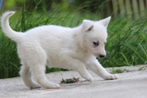 White-Swiss-Shepherd-Puppies-BTWWL-May-2019-0067