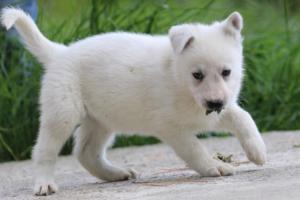 White-Swiss-Shepherd-Puppies-BTWWL-May-2019-0068