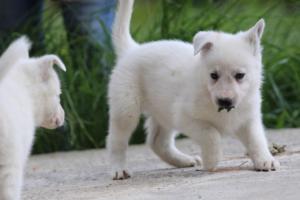 White-Swiss-Shepherd-Puppies-BTWWL-May-2019-0069